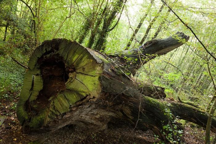 Arbre à terre mort sous-bois