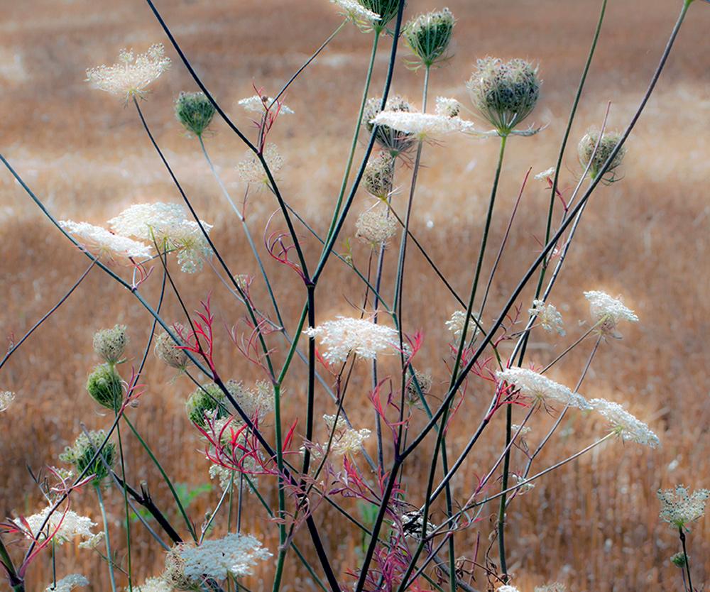Fleurs des champs, blés, moissons, foins, campagne