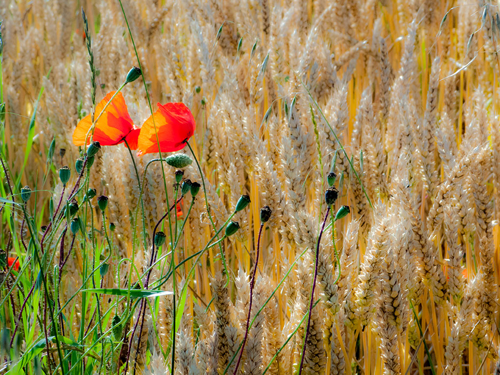 Coquelicots, pavots, champs de blés, campagne