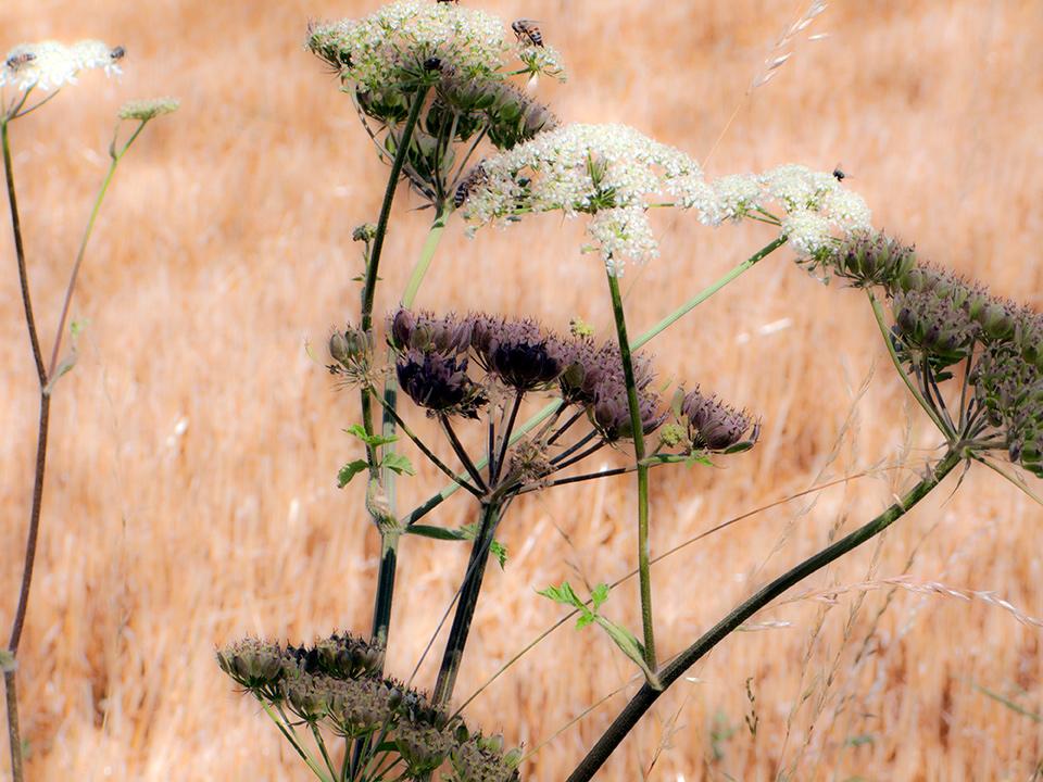 Bouquets de fleurs des champs de blés, moissons, foins, campagne