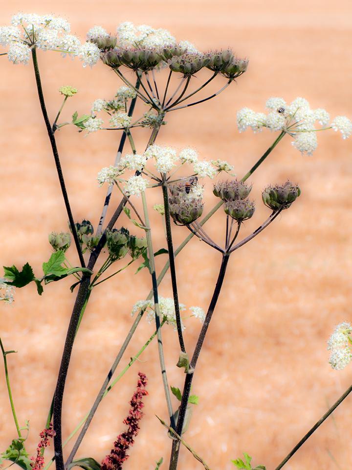 Fleurs des champs, foin coupés , bouquets fleurs
