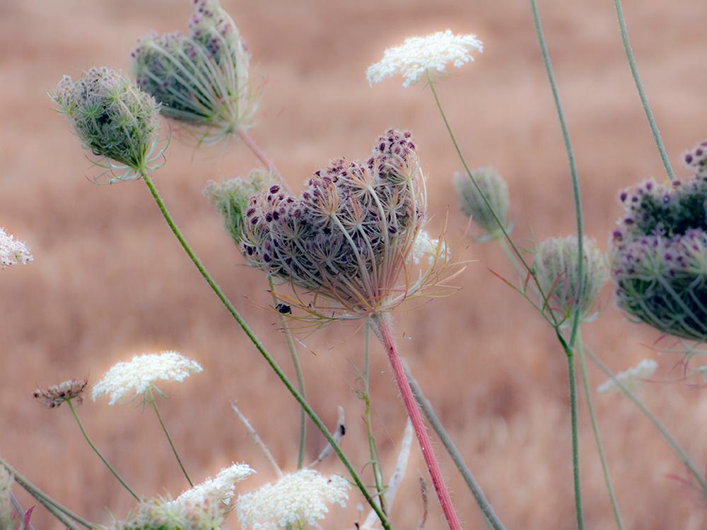 Fleurs après la moisson des blés, champs, foins