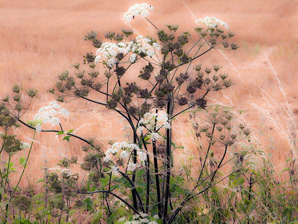 Bouquets fleurs, champs blés coupés, foins, campagne